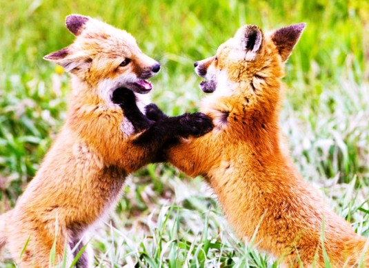Two Fox Kits Playing Photo_tgooch0020